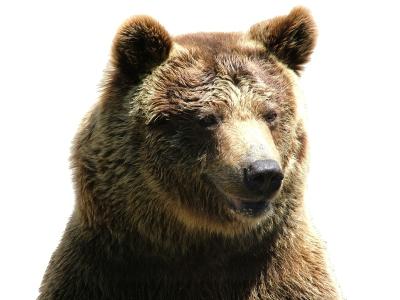 Bear_wht_bckgrnd