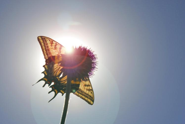 butterfly-lens-flare